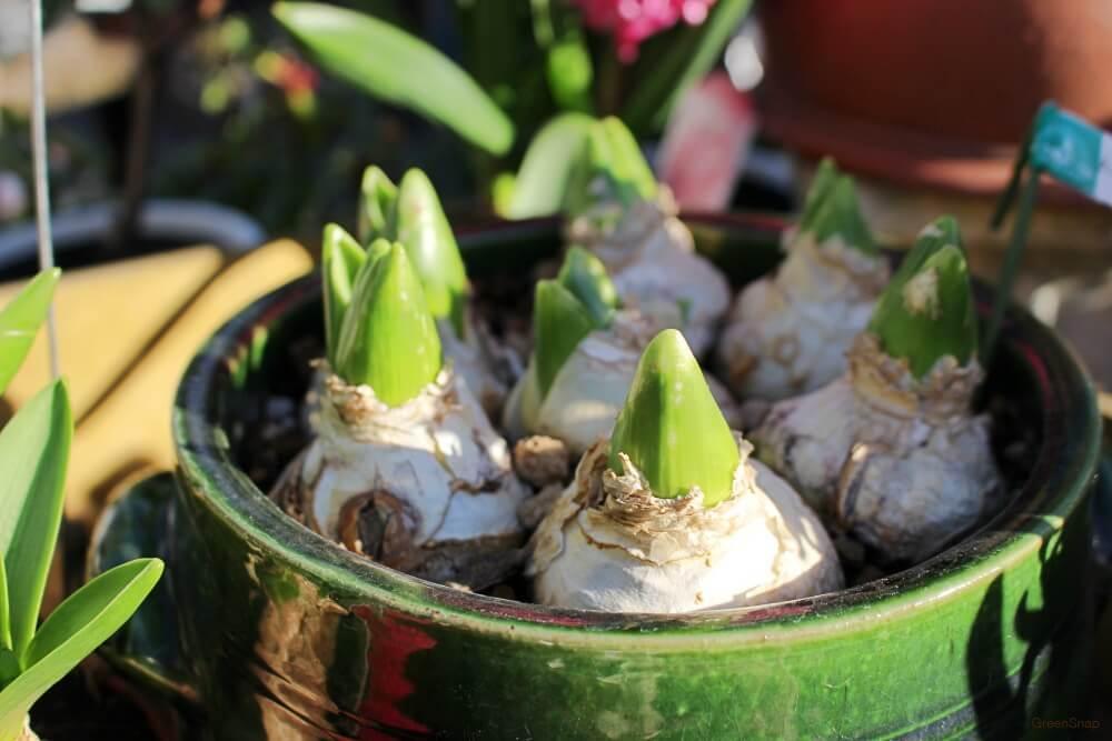 球根から芽が出たヒヤシンスの画像