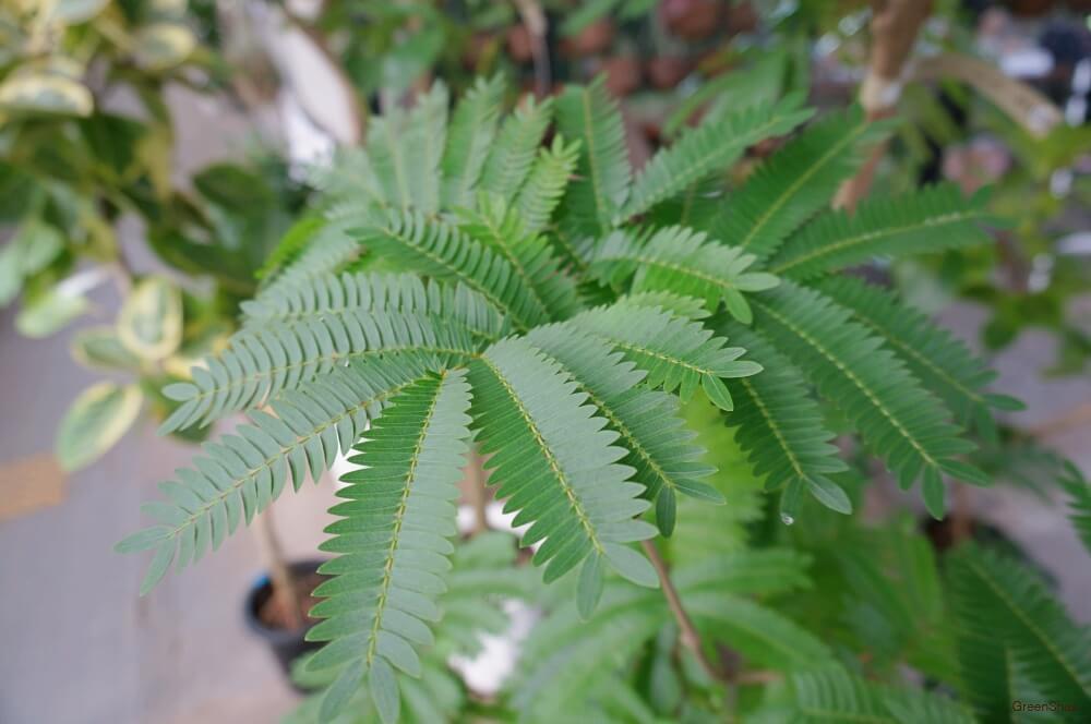 観葉植物エバーフレッシュの画像