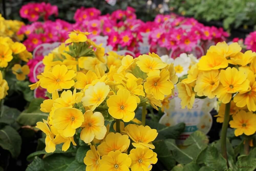 黄色とピンク色のガーデンプリムラの画像