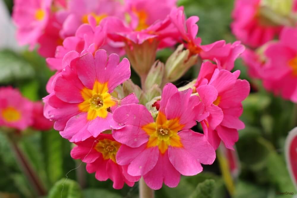 ピンク色のガーデンプリムラの画像