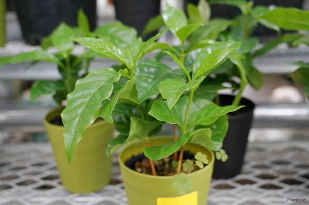 観葉植物コーヒーの木(コーヒーノキ)の鉢植えの画像