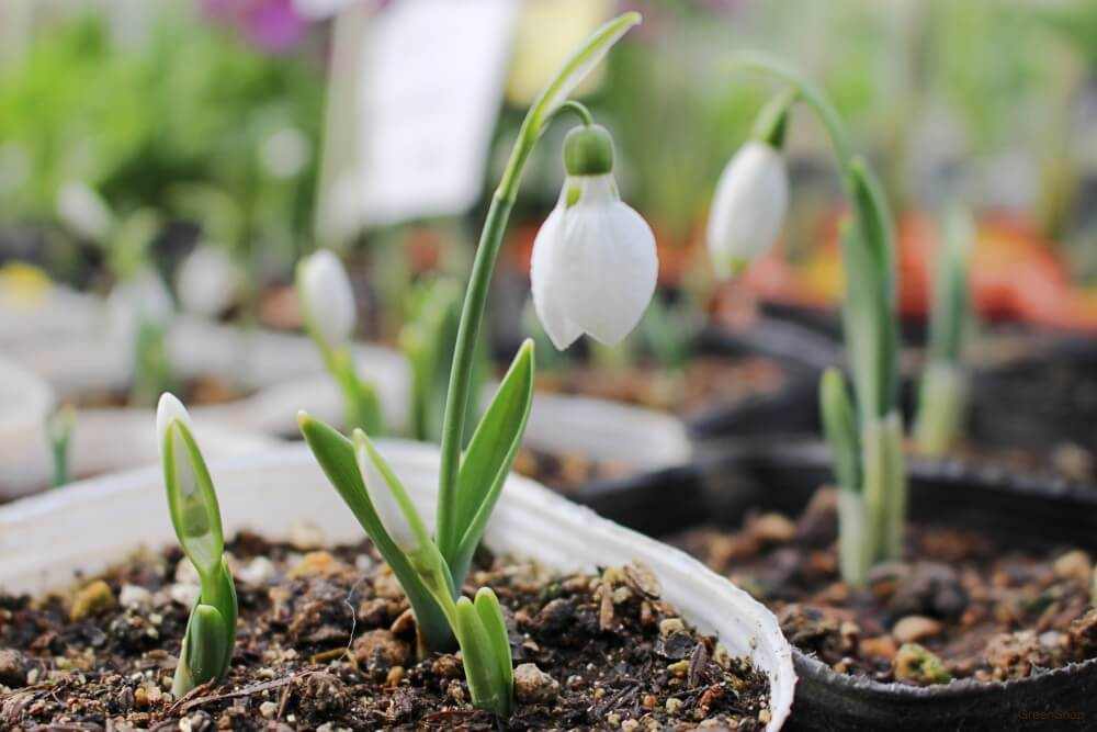 白いスノードロップの苗の画像