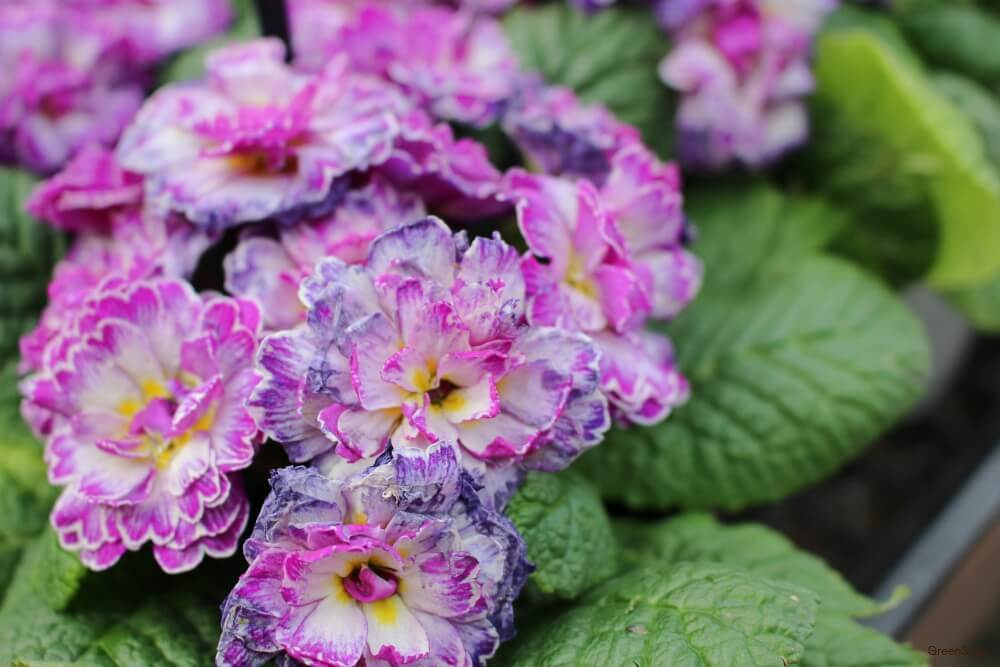 紫色 プリムラ ベラリーナ