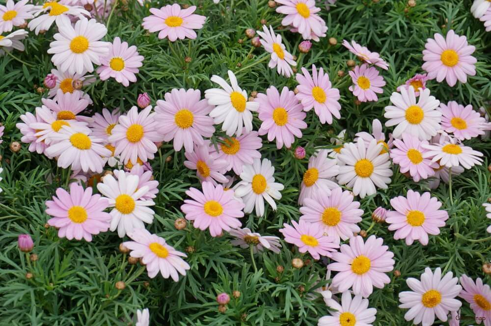 白とピンク色 マーガレット 花