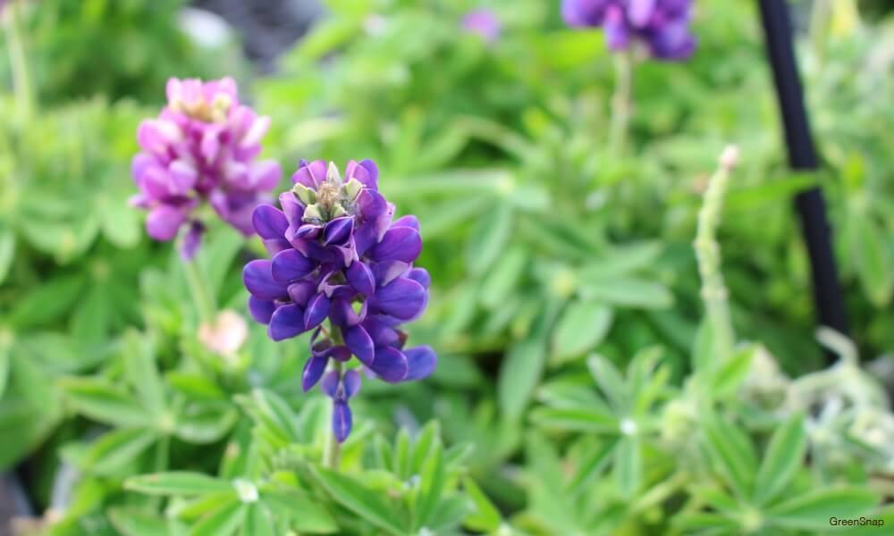 紫色のルピナス ピクシーデイライトの画像