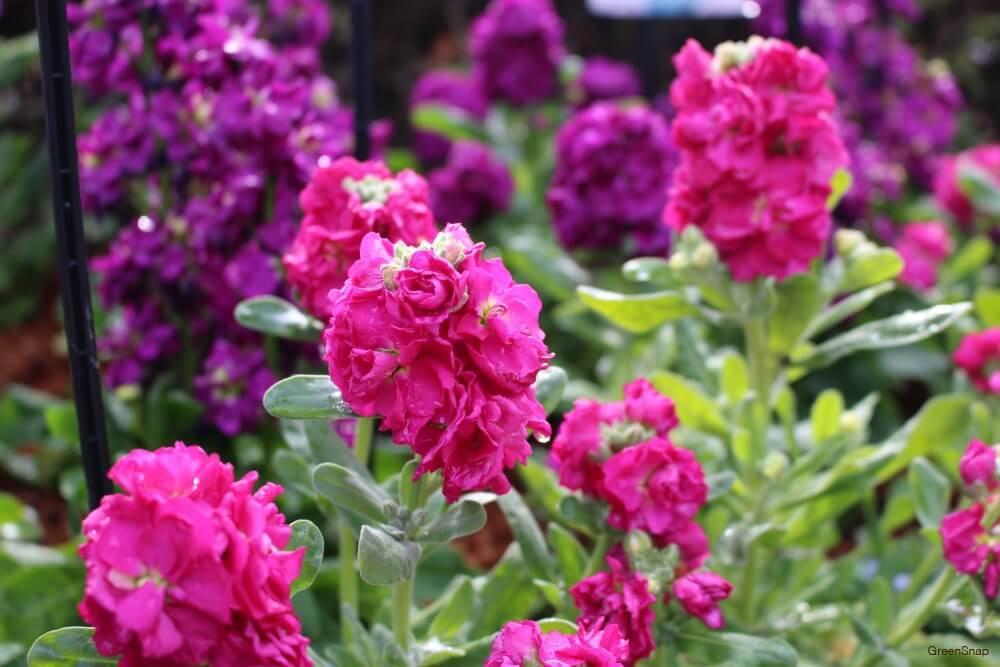 ピンク色と紫色のストックの花の画像