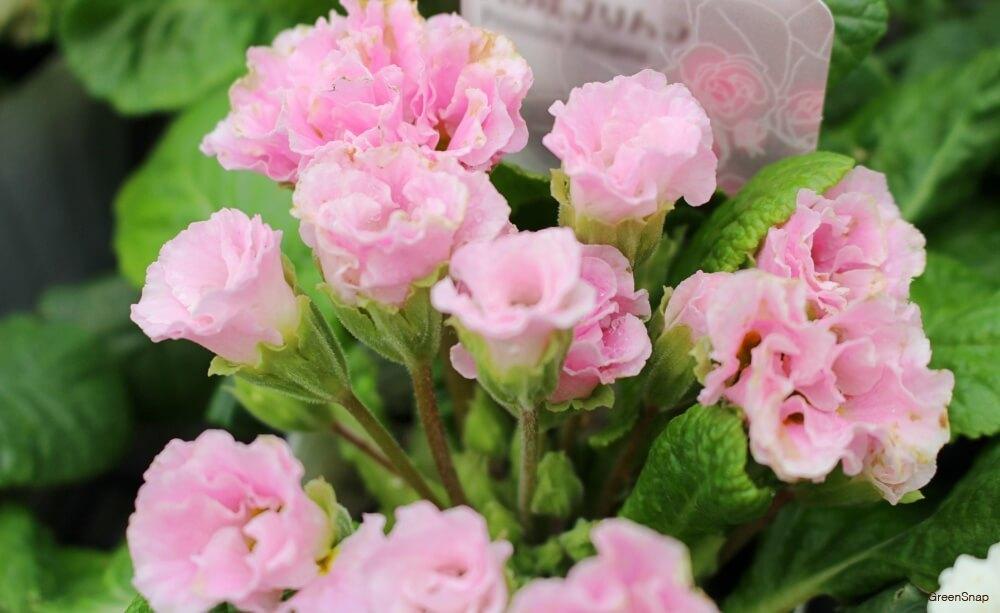 ピンク色のバラ咲きプリムラの画像