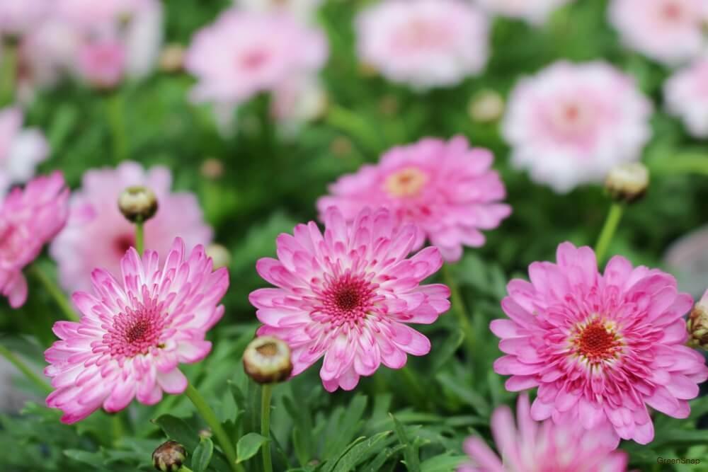 ピンク色のマーガレットモモコの花