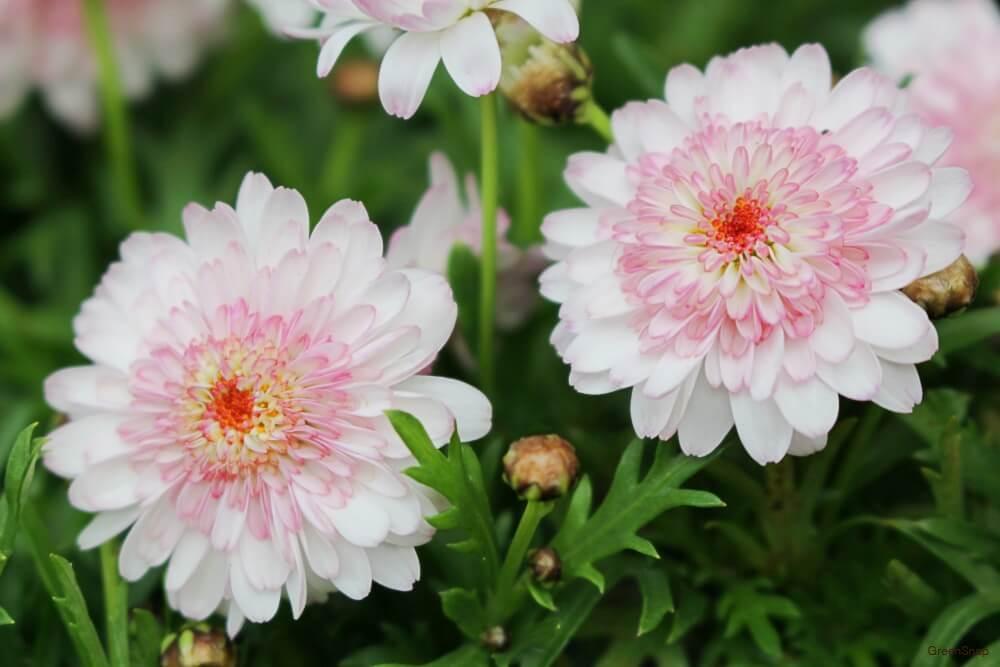 白とピンク色のマーガレットモモコの花