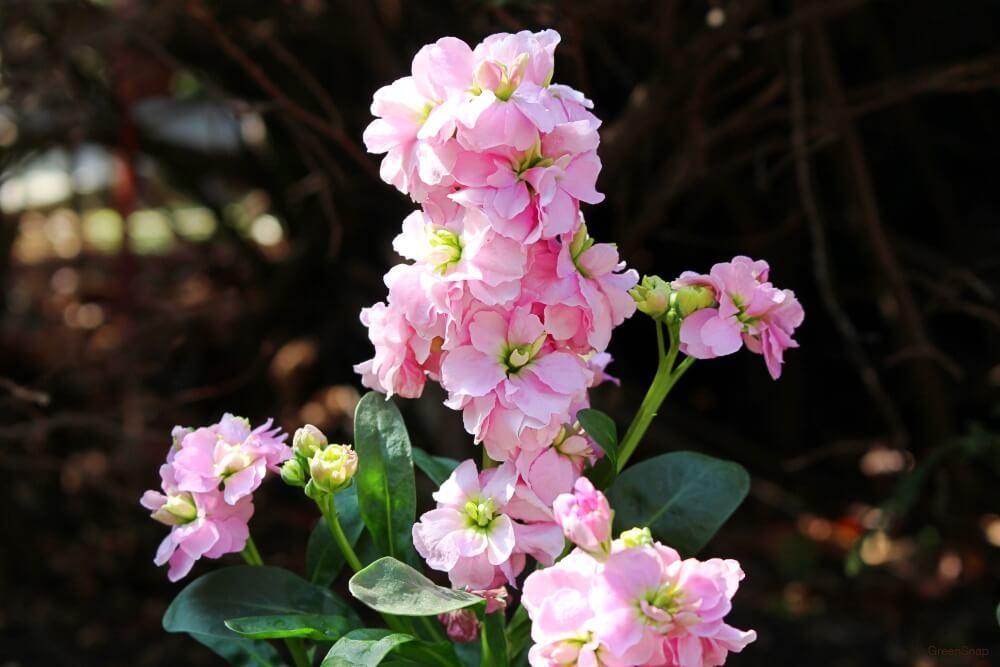地植えされたピンク色のストックの花の画像