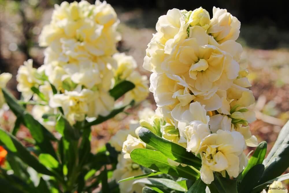 地植えされた白色のストックの花の画像