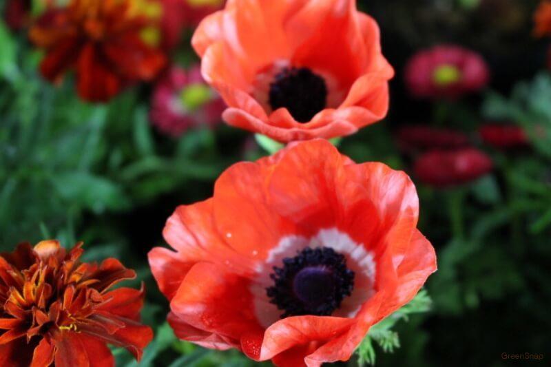 赤いアネモネの花の画像