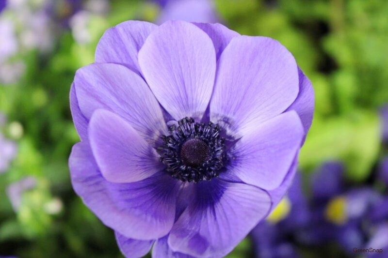 青紫色のアネモネの花の画像