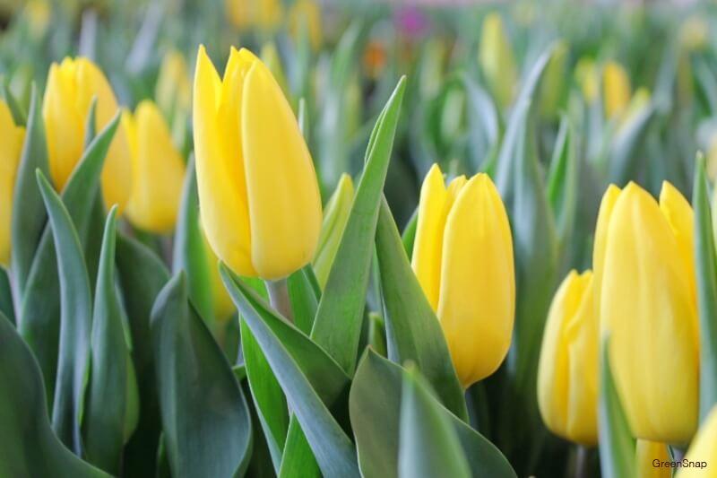 たくさんの黄色のチューリップの画像