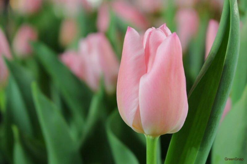 ピンク色のチューリップの画像