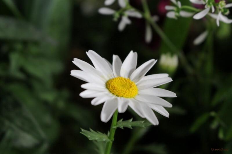 マーガレット 花