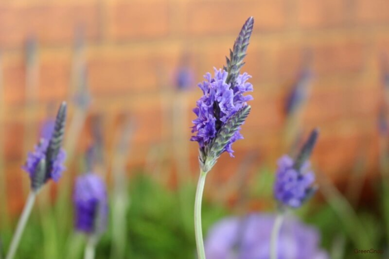 紫色のラベンダーの花の画像