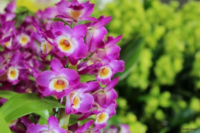 紫色のラン(デンドロビウム/デンドロビューム)の花の画像