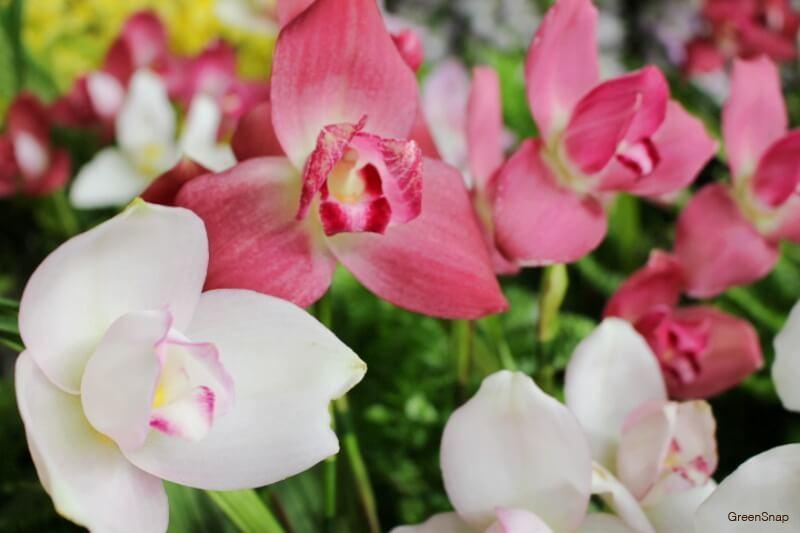 白とピンク色のラン(デンドロビウム/デンドロビューム)の花の画像