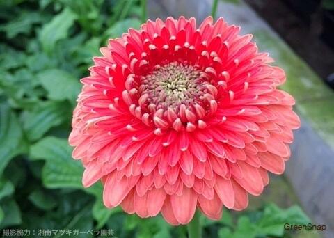 赤い色の八重咲きガーベラ(テラタイタン)の画像