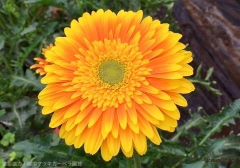 オレンジ色のガーベラ(スーベニア)の画像