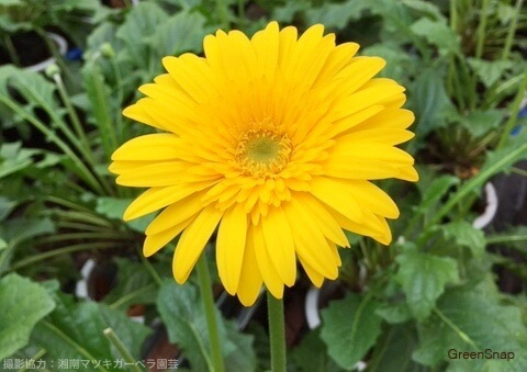 黄色のガーベラ(オークリー)の画像