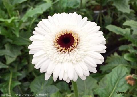 白い色のガーベラ(ポラール)の画像