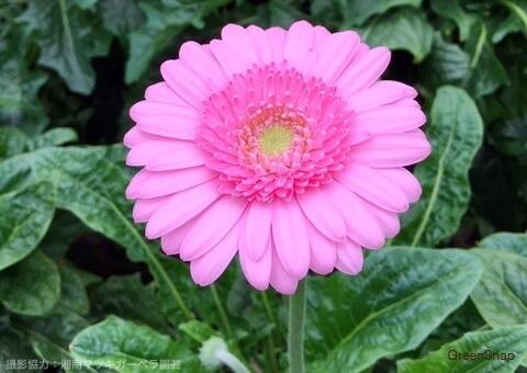 ピンク色のガーベラ(キムシー)の画像