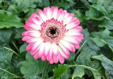 ピンクと白の混ざった色のガーベラ(クリオーザ)の画像