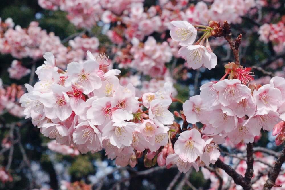 ピンク色のサクラの花の画像