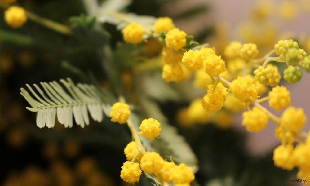 黄色いミモザの花の画像