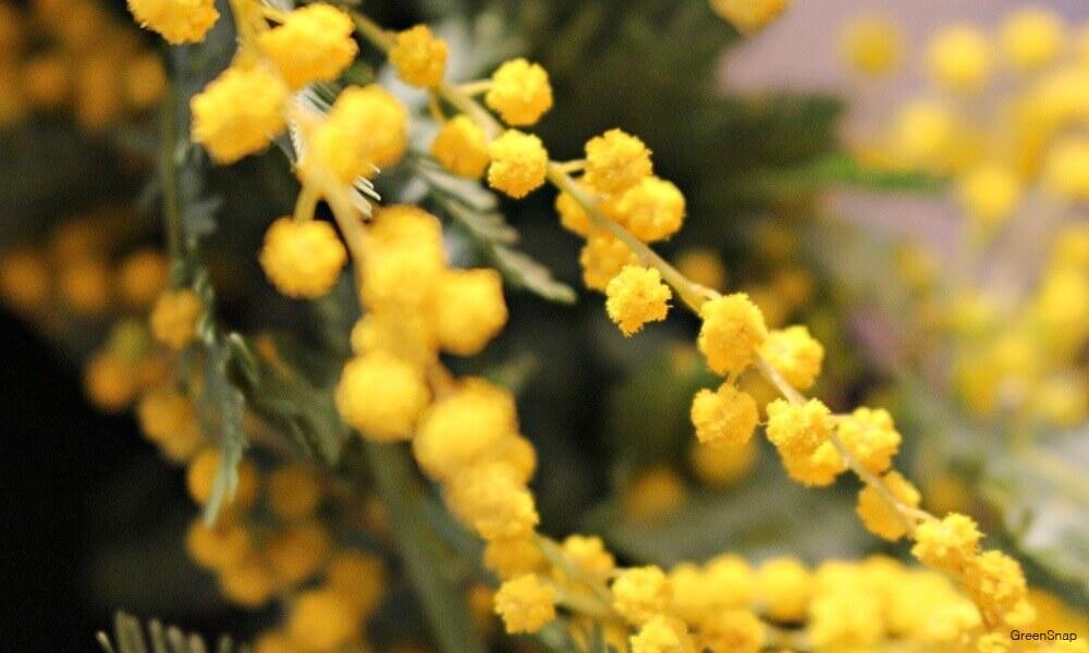 鉢植え ミモザ