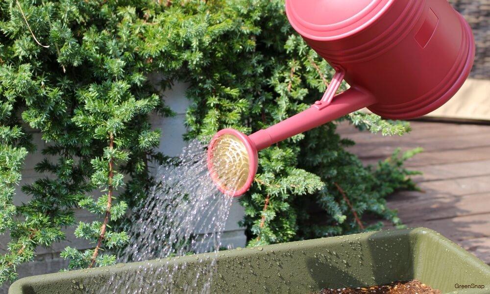 ジョーロで植物に水やりをしている画像