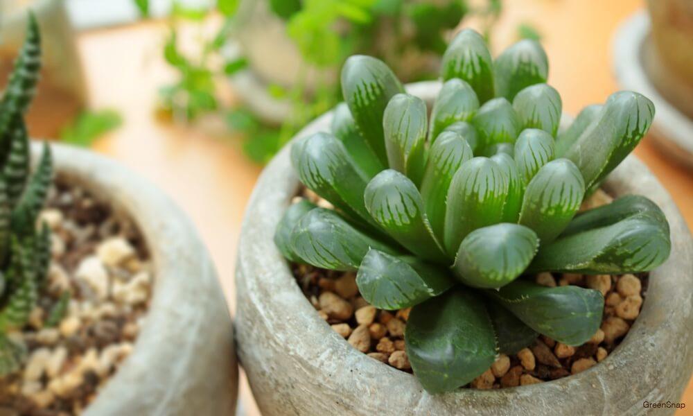 多肉植物のハオルチアの画像