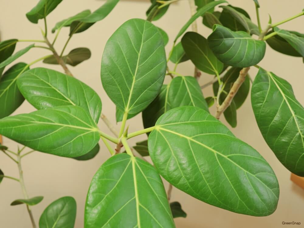 観葉植物のフィカス•ベンガレンシスの画像