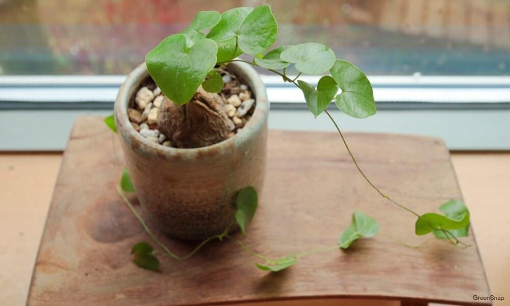 観葉植物の亀甲竜の画像