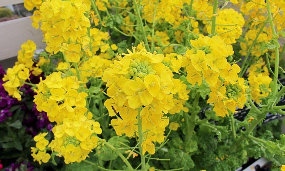 菜の花 ナノハナ
