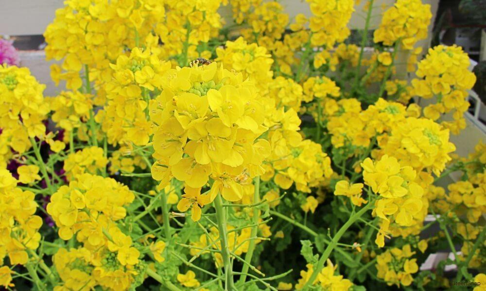 黄色い菜の花の画像