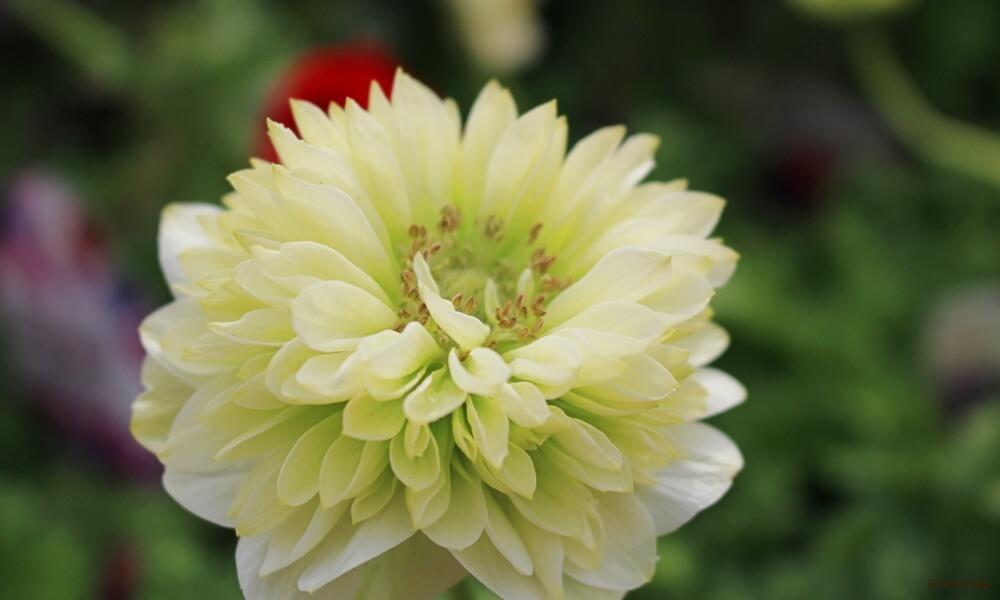 白色と黄色っぽいの八重咲きアネモネの花の画像
