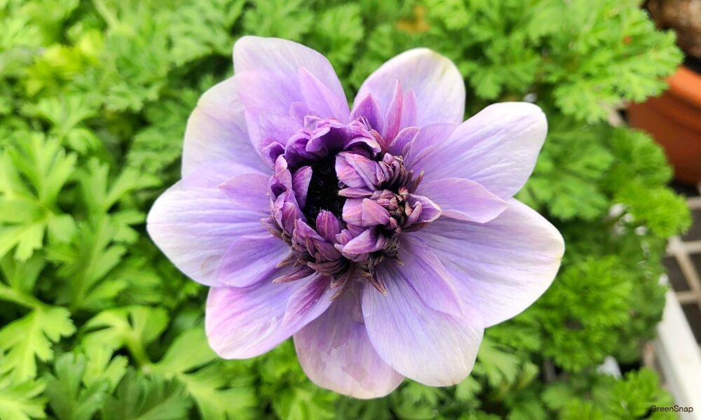 紫色のアネモネの花の画像