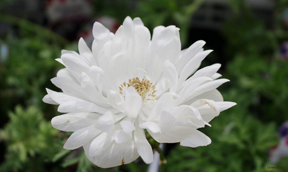 白色の八重咲きアネモネの花の画像