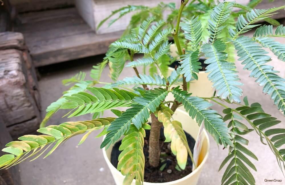 観葉植物のエバーフレッシュの画像