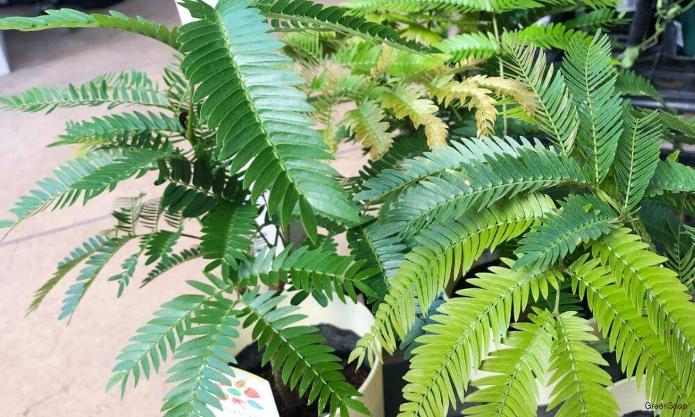 観葉植物のエバーフレッシュの葉の画像