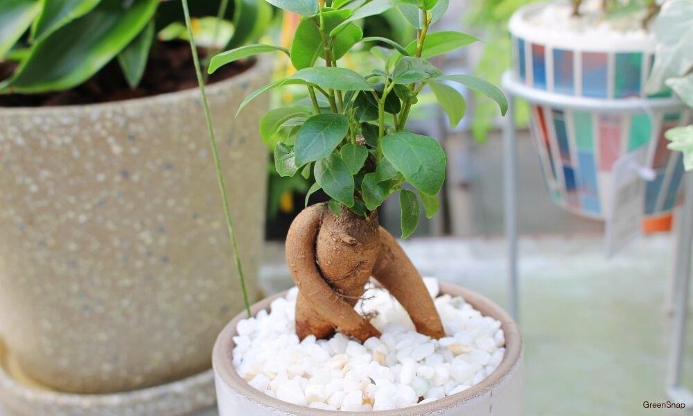 観葉植物のガジュマルの画像