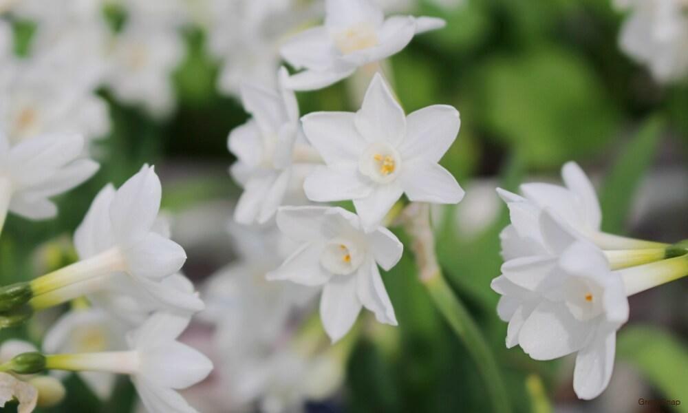 白いスイセンの花の画像