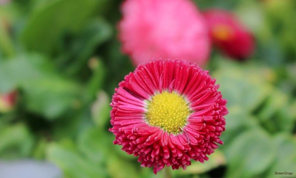 濃いピンク色のデイジー(ヒナギク)の花の画像