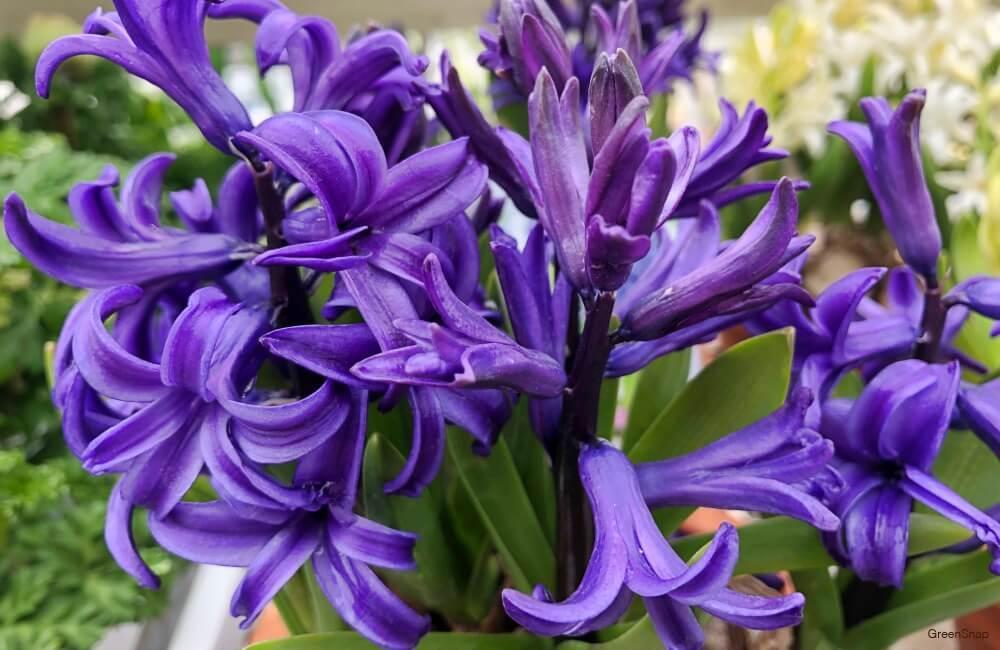紫色のヒヤシンスの花の画像