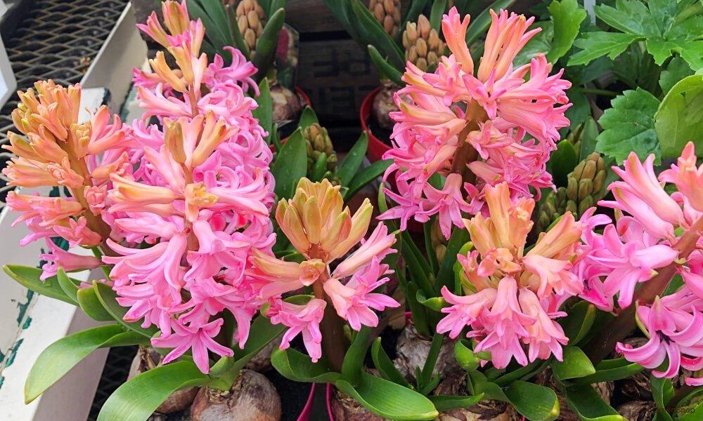 ピンク色のヒヤシンスの花の画像