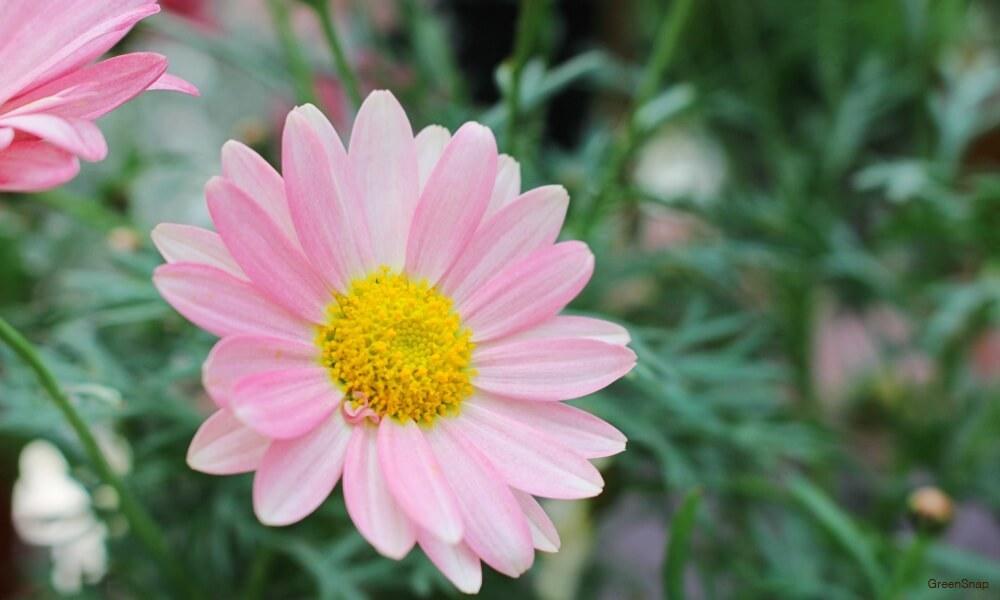 ピンク色のマーガレットの花の画像
