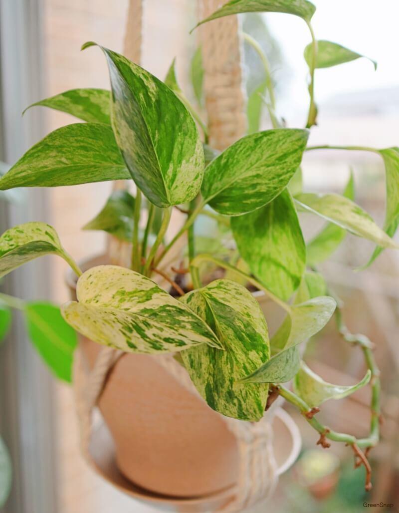 観葉植物のポトスの画像
